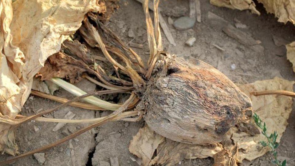 Eine vertrocknete Zuckerrübe liegt auf einem Feld in Duisburg. Foto: Martin Gerten